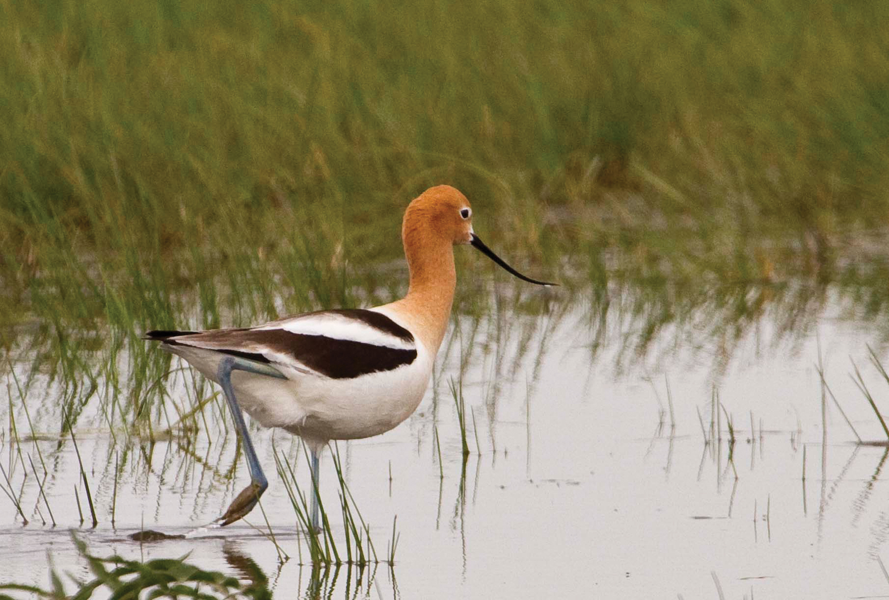 American avocet photographed by Dennis Lingohr