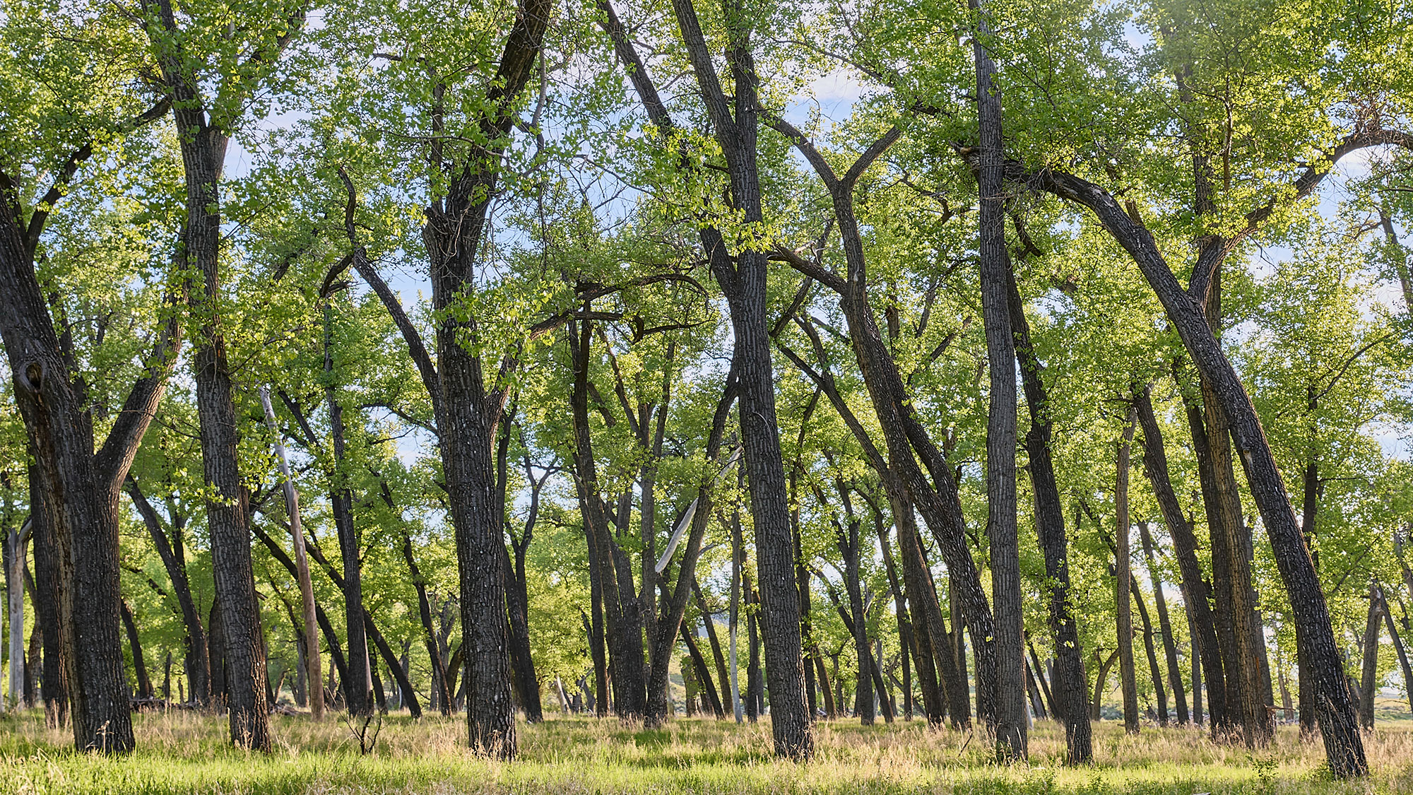 Cottonwood tree grove in summer.