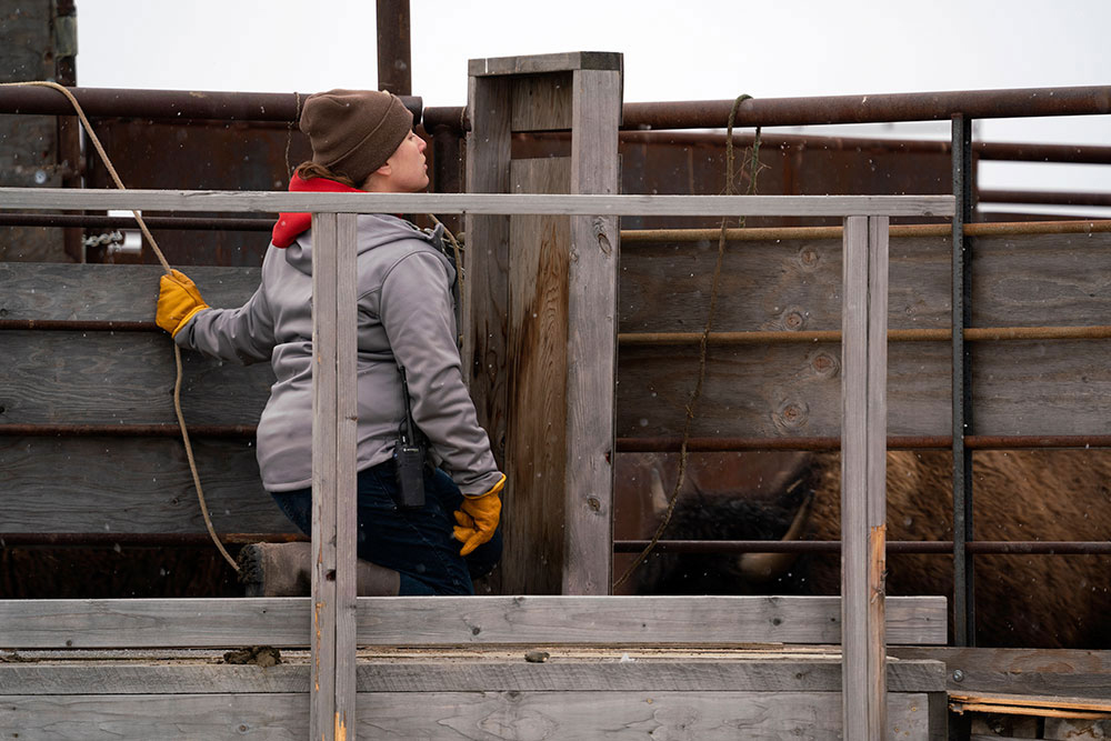 American Prairie GIS Specialist Liz Juers operates the first gate into the chutes.