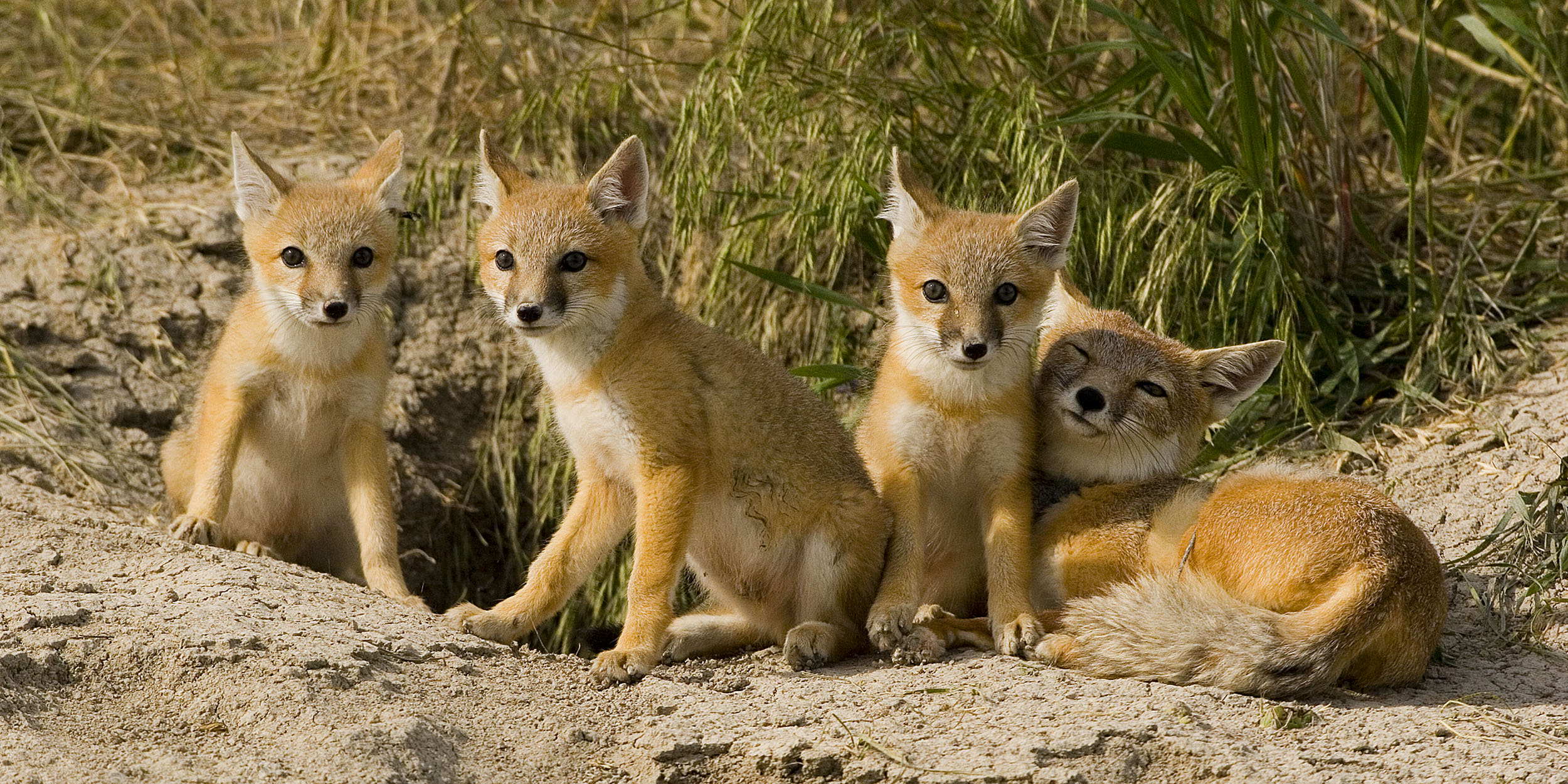 Swift fox photo by Diane Hargreaves