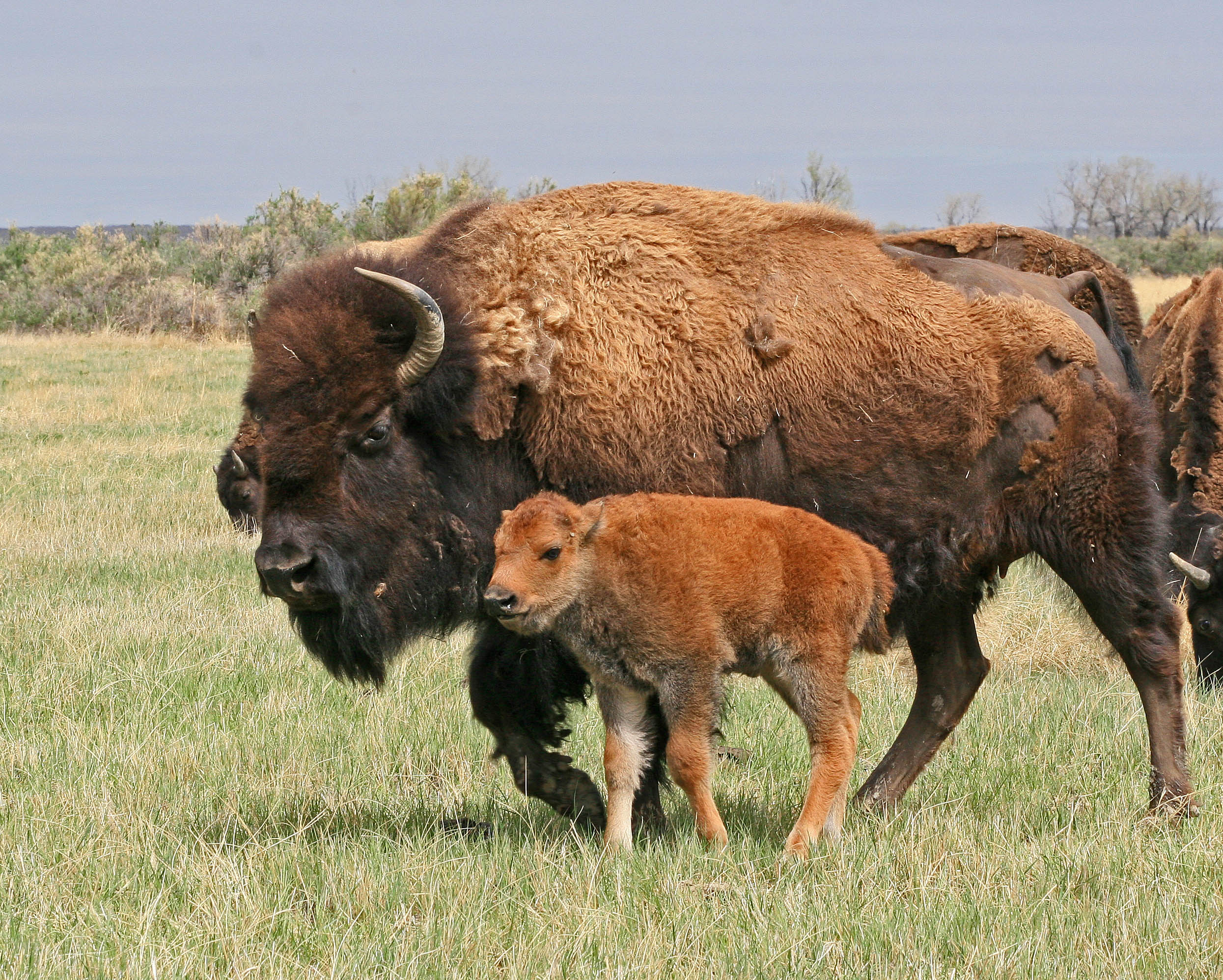 Cow bison and calf; Photo by Dennis Lingohr