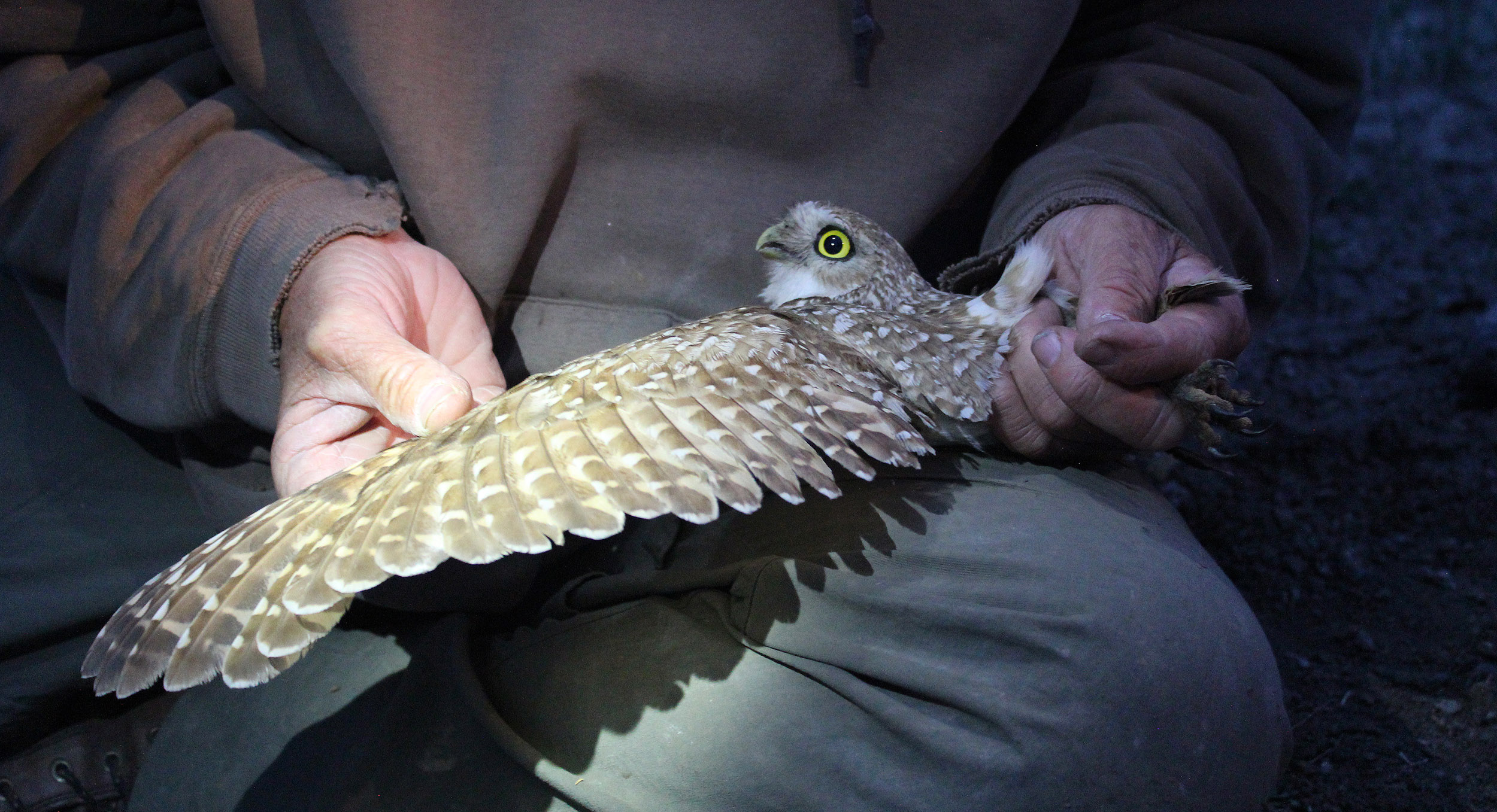 2015 Burrowing Owl banding; photo by Katy Teson
